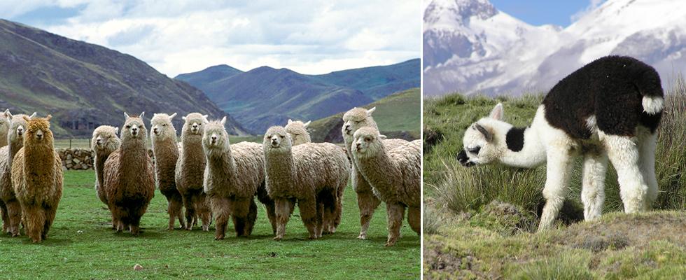 アンデス山脈のアルパカのイメージ画像