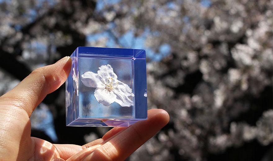 桜のSola cube 植物立体標本が今年も入荷!